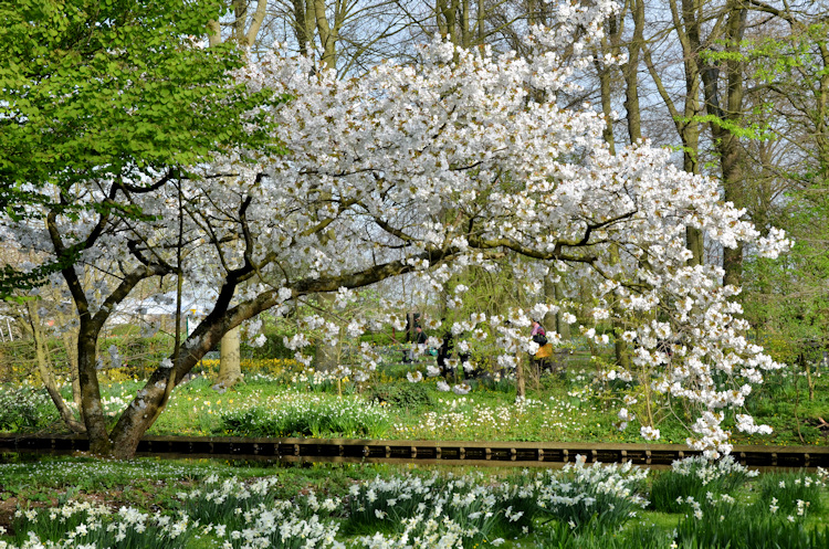 Flowering tree at the Keukenhof Garden, Lisse, Netherlands