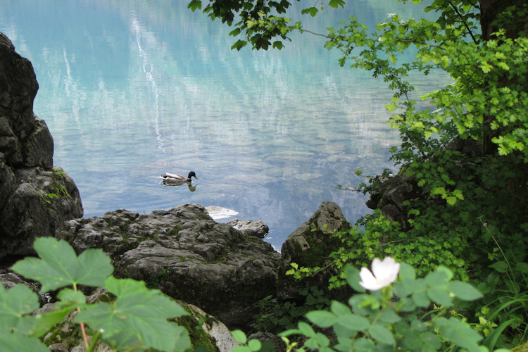 Duck in Berchtesgaden National Park