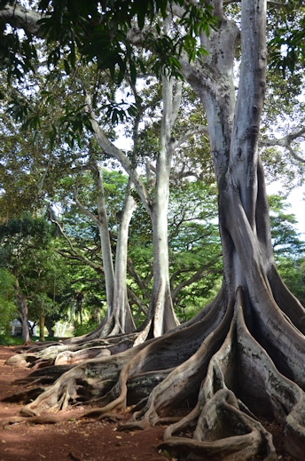 Moreton Bay fig trees, National Tropical Botanical Garden, Poipu, Kauai