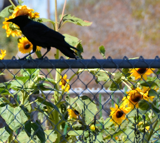 Crow in front of Maximilian sunflowers, Berkeley, California